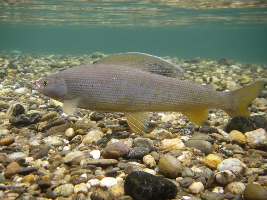 Artic Grayling Fish