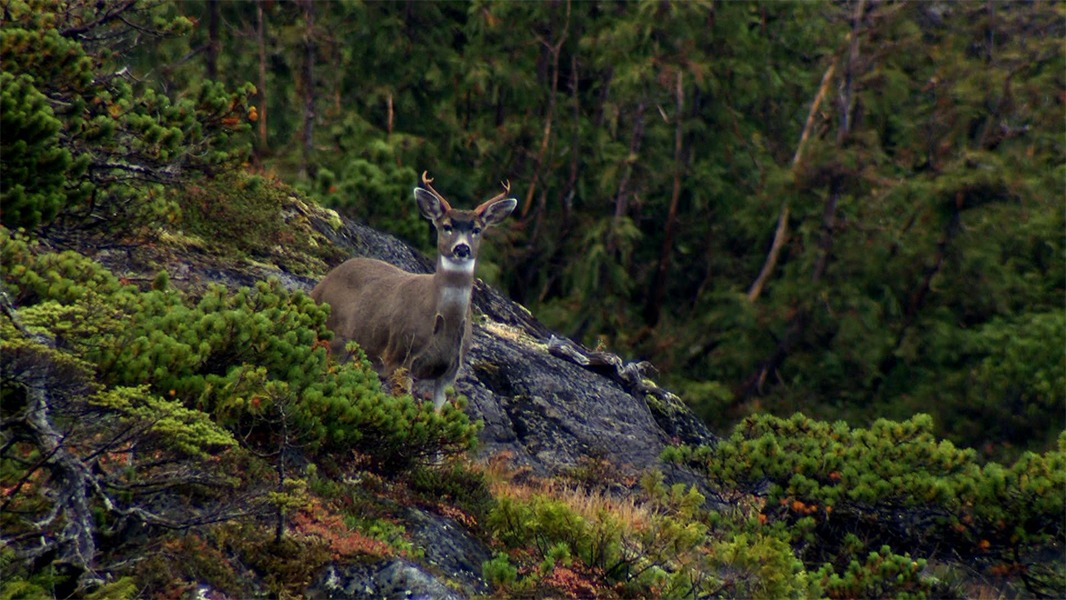 Sitka-Alaska-Black-Tailed-Deer