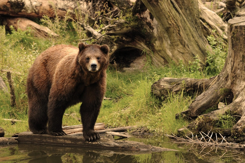 Brown Bear at Rescue Center