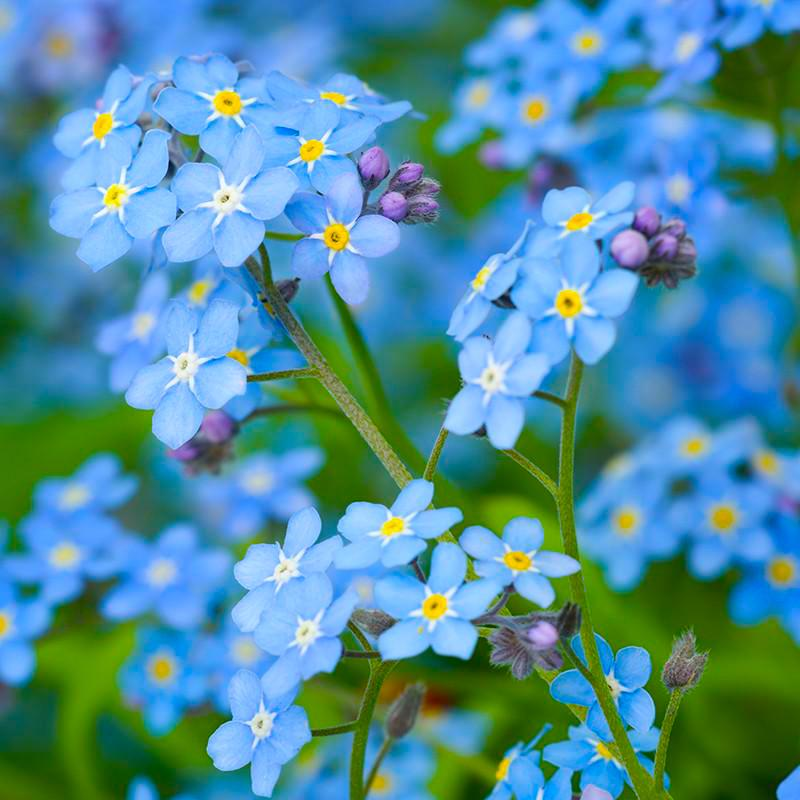 Sitka-Forget-Me-Not